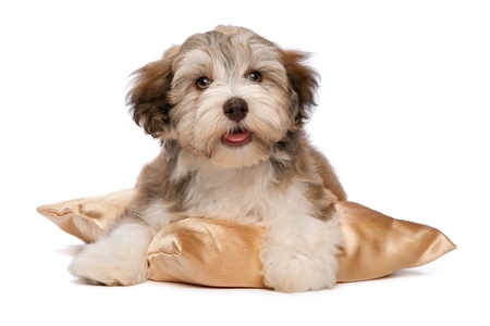 A cute chocolate havanese puppy dog on a gold cushion isolated on white background photo