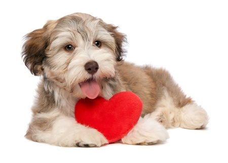 animal lover: A lover chocolate valentine havanese puppy dog with a red heart isolated on white background