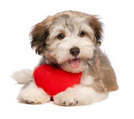 havanais: A lover chocolate valentine havanese puppy dog with a red heart isolated on white background