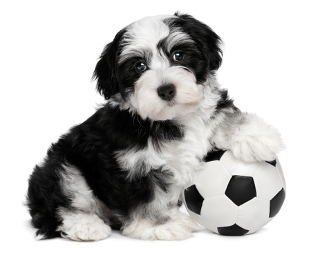 A cute sitting little havanese puppy dog with a soccer ball is looking at the camera, isolated on white background