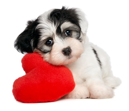 holiday pets: A cute lover valentine havanese puppy dog with a red heart isolated on white background