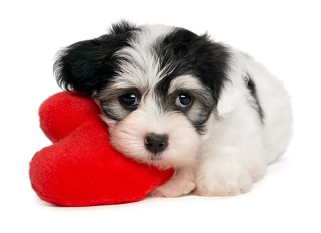 wishful: A cute lover valentine havanese puppy dog with a red heart isolated on white background
