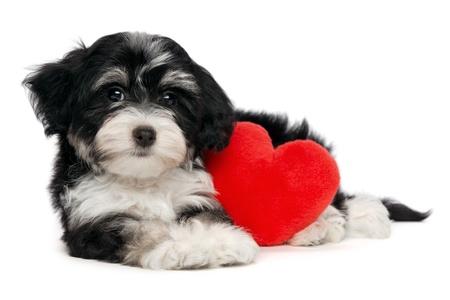 Een leuke minnaar valentine havanese puppy hond met een rood hart geïsoleerd op witte achtergrond Stockfoto