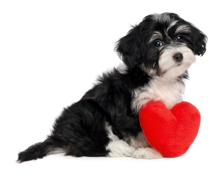 havanese: A cute lover valentine havanese puppy dog with a red heart isolated on white background