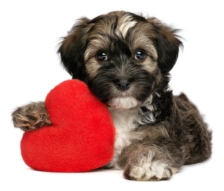 Een leuke minnaar valentine havanese reutje hond houdt een rood hart, geïsoleerd op witte achtergrond