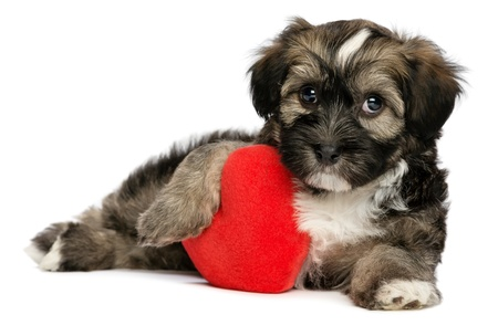 animal lover: A cute lover valentine havanese male puppy dog is holding a red heart, isolated on white background Stock Photo