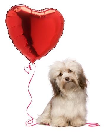 puppy love: Un chocolate de San Valentín amante havanese perro con un globo rojo del corazón, aislado en fondo blanco