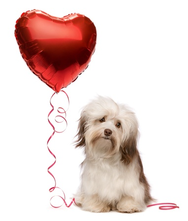 A lover chocolate valentine havanese dog with a red heart balloon isolated on white background photo