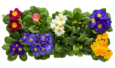 A sets of colorful Primulas from above isolated