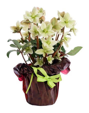 Potted Helleborus White Beauty in a decorative packaging isolated on white background Stock Photo - 15436931