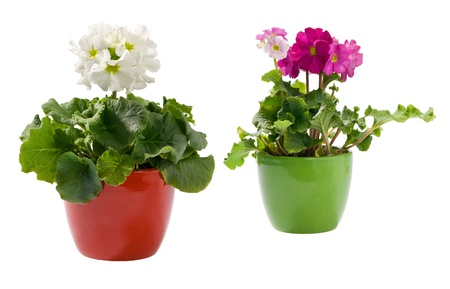 A purple and a white primrose in pots Stock Photo - 15436921