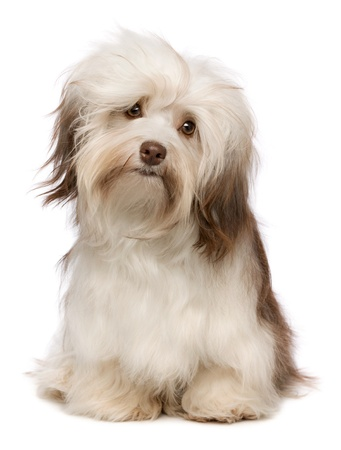 A beautiful sitting chocolate havanese puppy dog isolated on white background Stock Photo