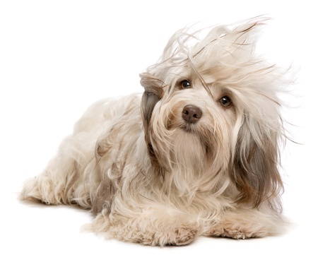 A cute chocolate havanese puppy dog lying in wind isolated on white background photo