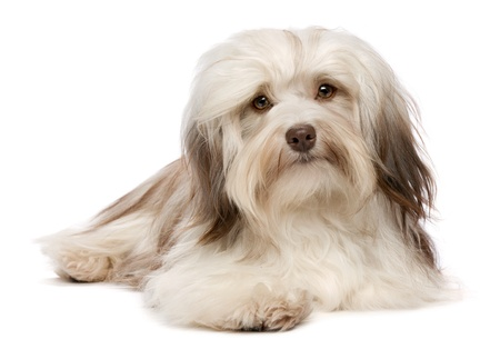 A cute lying chocolate havanese puppy dog is facing to camera isolated on white background photo