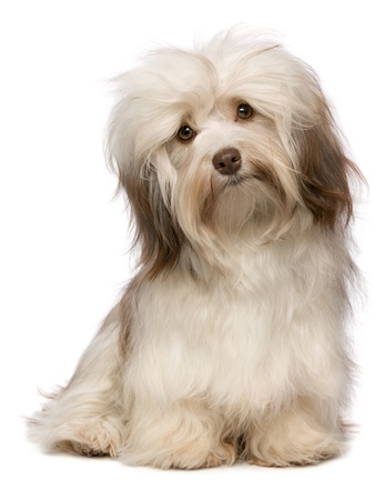 A beautiful sitting chocolate havanese puppy dog is looking to camera isolated on white background