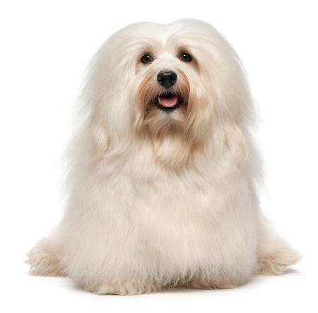 귀여운 앉아 크림 havanese 남성 개는 흰색 배경에 고립 된 카메라를 찾고 있습니다