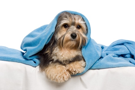 havanais: Cute lying tricolor Havanese dog in a bed under a blue blanket. Isolated on a white background  Stock Photo