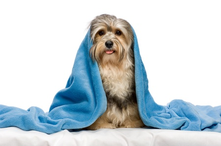 havanais: Cute sitting tricolor Havanese dog in a bed under a blue blanket. Isolated on a white background