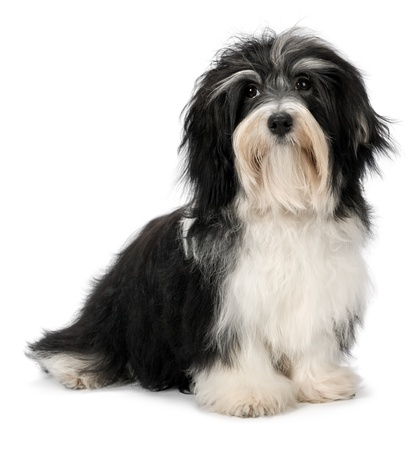 Cute sitting Bichon Havanese puppy dog, isolated on white background