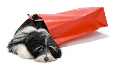 havanais: Cute lying Bichon Havanese puppy dog with a red paper bag, isolated on white background Stock Photo