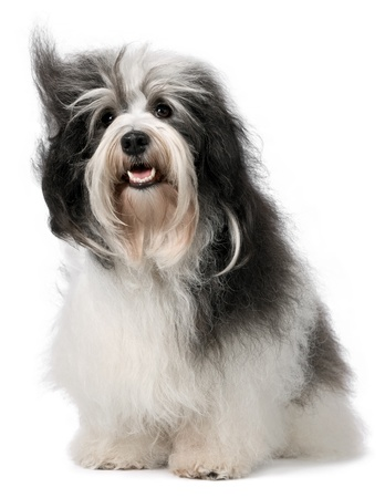 havanais: Cute happy Havanese male dog. Isolated on a white background