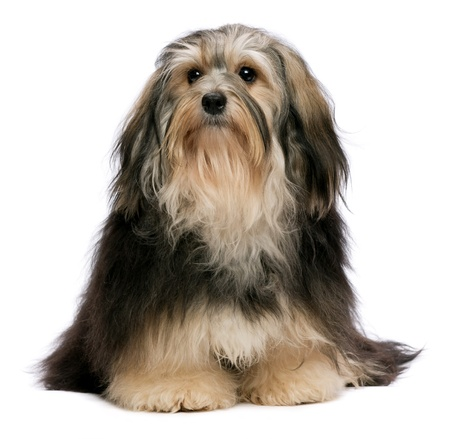 havanais: Cute sitting tricolor Havanese dog is looking upwards. Isolated on a white background