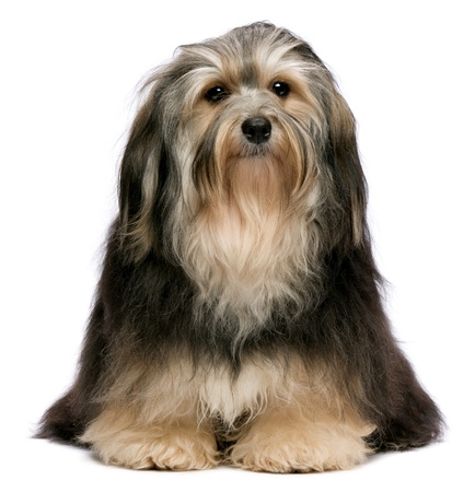 havanais: Cute sitting tricolor Havanese dog is frontal to camera. Isolated on a white background
