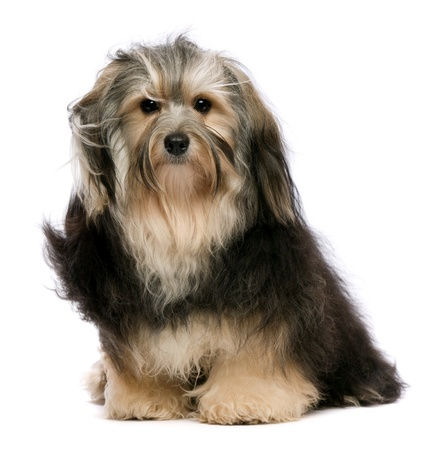 havanais: Cute sitting tricolor Havanese dog is looking to camera. Isolated on a white background