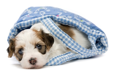 A cute little havanese puppy dog lying in a mini basket isolated on white background photo