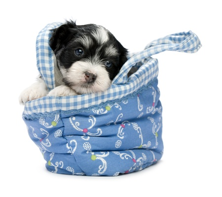 A cute little havanese puppy dog in a mini basket isolated on white background photo