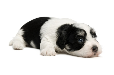 A cute lying little spotted havanese puppy dog isolated on white background Stock Photo - 15555085