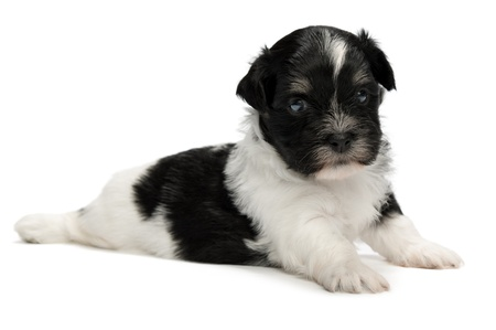 A cute lying little spotted havanese puppy dog isolated on white background photo