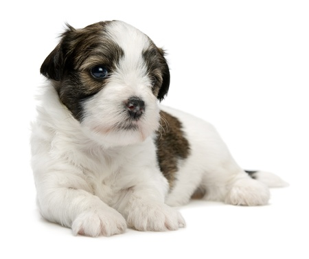 A cute lying little sable havanese puppy dog isolated on white background Stock Photo - 15555091