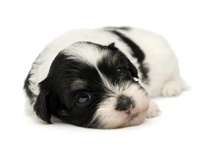 A cute lying little spotted havanese puppy dog isolated on white background Stock Photo - 15555093