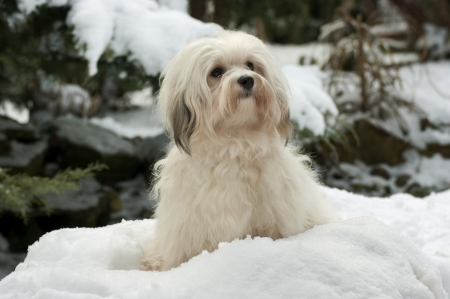 havanais: Portrait of a cute little Havanese girl dog is sitting in the snow Stock Photo