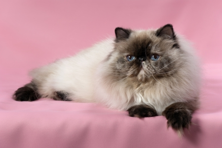 Beautiful persian seal tortie colorpoint cat lying on pink background photo