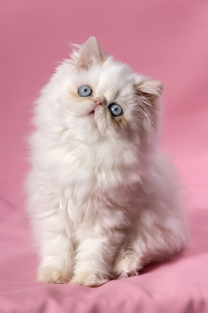 Cute persian cream point kitten sitting on pink background  Stock Photo