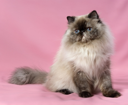 Beautiful persian seal tortie colorpoint cat sitting on pink background photo