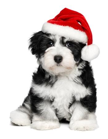 크리스마스에 귀여운 앉아 비숑 Havanese 강아지 - 산타 모자입니다. 흰색 배경에 고립