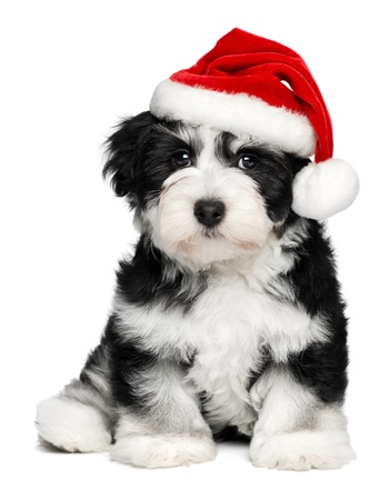 Cute sitting Bichon Havanese puppy dog in a Christmas - Santa hat. Isolated on a white background Stock Photo