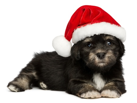 Cute lying  Bichon Havanese puppy dog in a Christmas - Santa hat. Isolated on a white background photo
