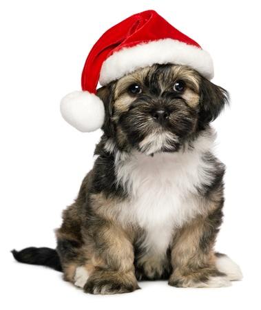 かわいいクリスマス - サンタの帽子のビション Havanese 子犬犬を座っています。白い背景で隔離