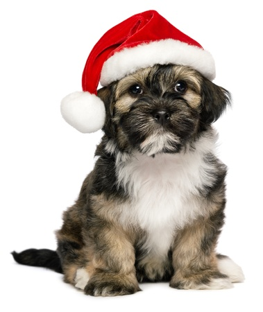 Cute sitting Bichon Havanese puppy dog in a Christmas - Santa hat. Isolated on a white background Reklamní fotografie