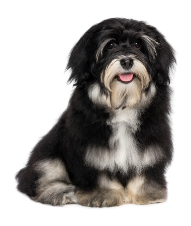 Beautiful smiling happy havanese male puppy dog, isolated on white background