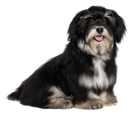 Beau sourire heureux chien chiot m�le est havanese regardant la cam�ra, isol� sur fond blanc photo