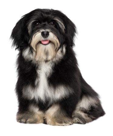 Beautiful smiling happy havanese male puppy dog is looking at camera, isolated on white background