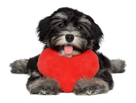 Een leuke minnaar valentine havanese puppy hond houdt een rood hart, geïsoleerd op witte achtergrond