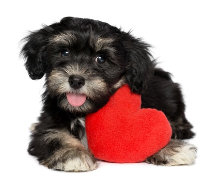귀여운 연인 발렌타인 된 Havanese 강아지 흰색 배경에 고립 된 붉은 마음을 잡고있다