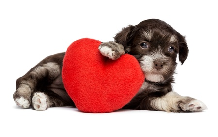 havanais: A cute valentine havanese puppy dog with a red heart, isolated on white background