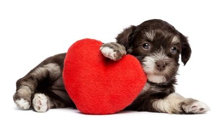Een leuke valentijnskaart havanese puppy hond met een rood hart, geïsoleerd op witte achtergrond